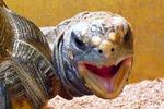Не держите дома черепаху!