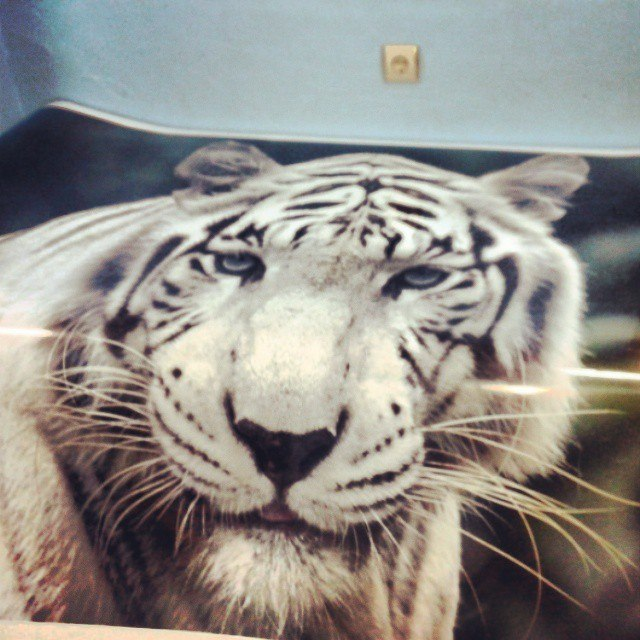 Тигр на капот авто