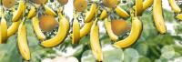 Деталь новогоднего проекта. Гирлянда бананов