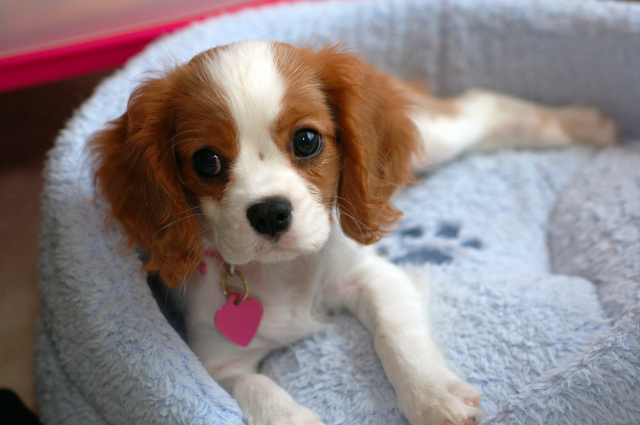 Самая маленькая собачка в мире